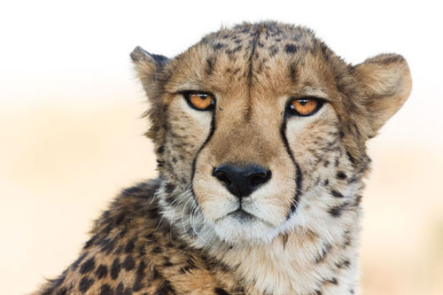 A Cheetah Conservation Fund resident cheetah
