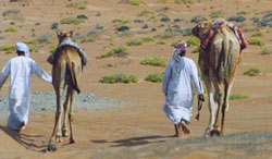 Omani Bedouin cameleers traverse the eastern reaches of the Rub' Al-Khali (Empty Quarter), the world's largest desert.